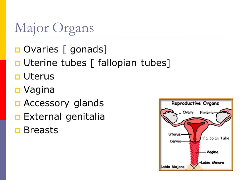 Major Organs Ovaries [ gonads] Uterine tubes [ fallopian tubes] Uterus